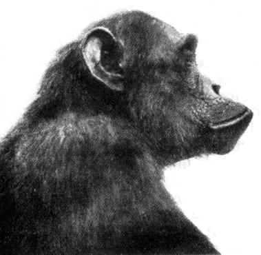 Baboon Face Profile